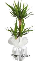 Yukka Bilateral Flowerpot   You are sending the most beautiful way to represent each of yucca plant in your home, office, workplace, be regarded as the places.