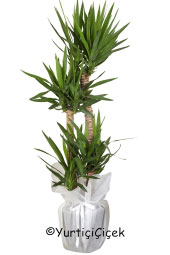 Teams Yucca Potted Plant You are sending the most beautiful way to represent each of yucca plant in your home, office, workplace, be regarded as the places.