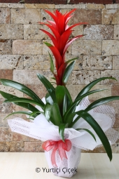 Flowerpot Guzmania   You are sending the most beautiful way to represent any environment guzmania plant home, office, workplace, be regarded as the places.