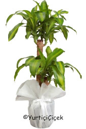 Flowerpot Massengena   You are sending the most beautiful way to represent any environment massengena plant home, office, workplace, be regarded as the places.