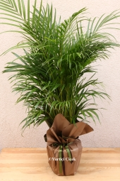 Areca Flowerpot   You are sending the most beautiful way to represent all areca plants in your home, office, workplace, be regarded as the places.