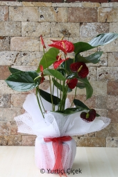 Anthurium Flowerpot   You are sending the most beautiful way to represent each of Anthurium plant in your home, office, workplace, be regarded as the places.