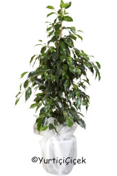 Benjamin Plant Height 45 cm  Stunted trees looking home, office as well as in different weather environments sent benjamin plant will add a nice gift for your loved ones will be.
