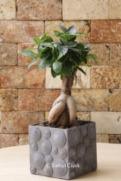 Shrub -looking home , office bonsai plants such as the media you send will add different weather Hobbies Inside will be a nice gift .