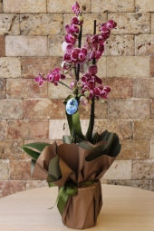 A special design arrangement, prepared with 8-10 purple roses in a round box, will be an interpreter for your heart.