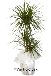 Triple Marginata Potted Plant You are sending the most beautiful way to represent any environment Marginata plant home, office, workplace, be regarded as the places.