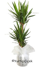 Triple Yucca Potted Plant  You are sending the most beautiful way to represent each Yukka plant in your home, office, workplace, be regarded as the places.