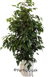 Benjamin Potted Plant  Benjamin will represent you in the best way that you send to plant in your home, office, workplace, be regarded as the places.